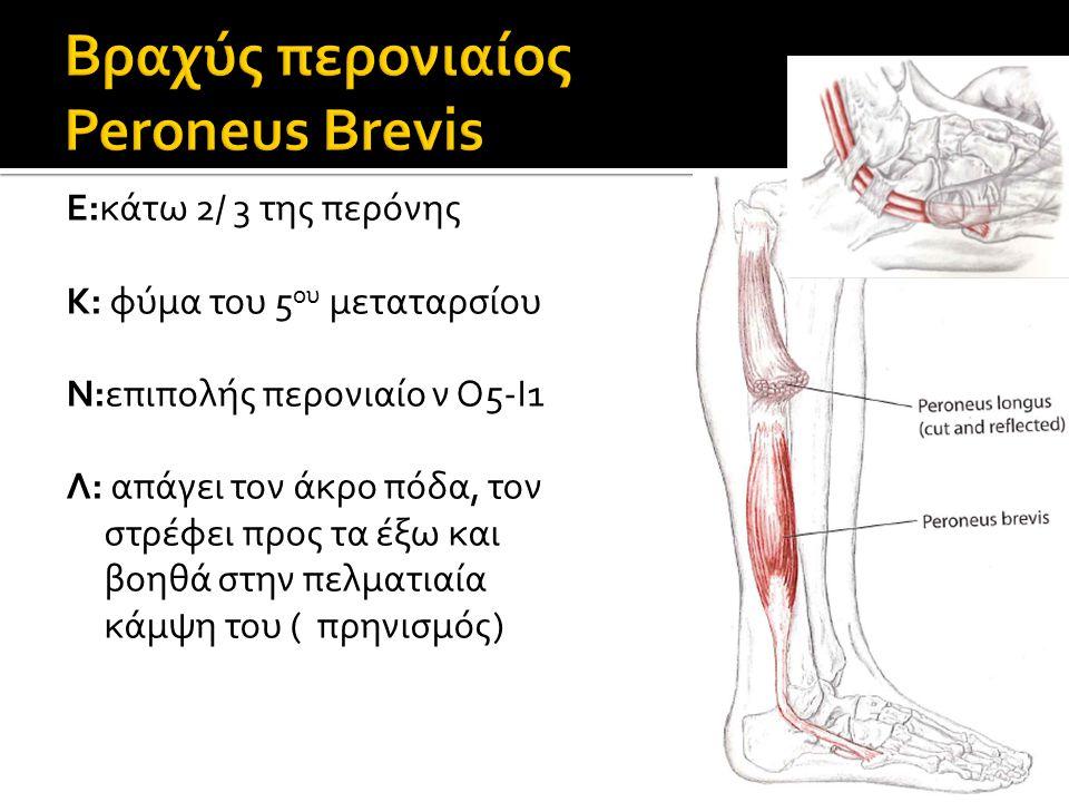 Βραχύς περονιαίος Peroneus Brevis