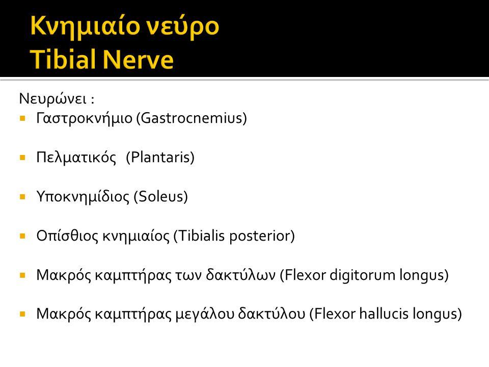 Κνημιαίο νεύρο Tibial Nerve
