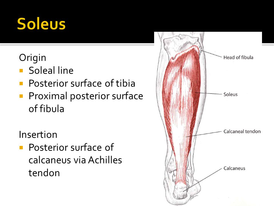 Soleus Origin Soleal line Posterior surface of tibia