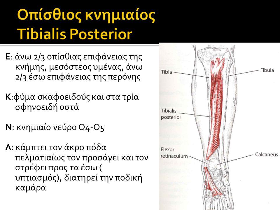 Οπίσθιος κνημιαίος Tibialis Posterior