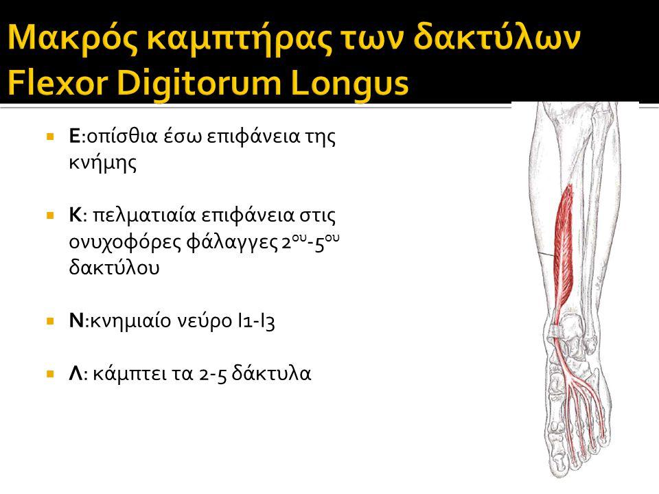Μακρός καμπτήρας των δακτύλων Flexor Digitorum Longus