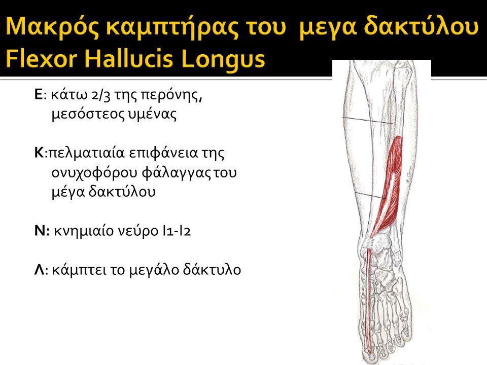 Μακρός καμπτήρας του μεγα δακτύλου Flexor Hallucis Longus
