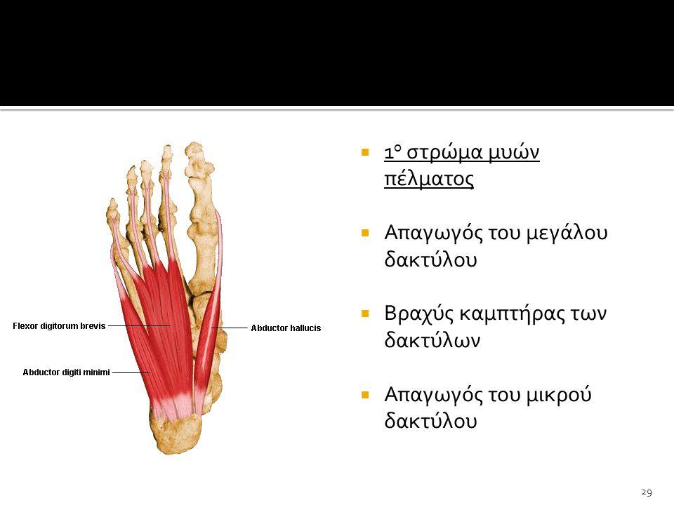 1ο στρώμα μυών πέλματος Απαγωγός του μεγάλου δακτύλου.