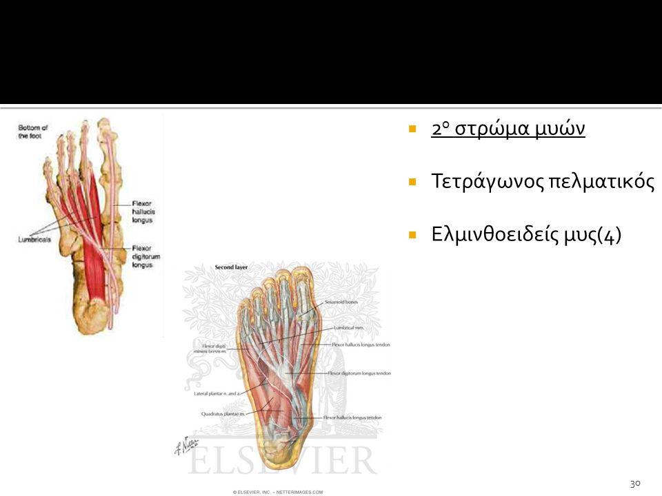 2ο στρώμα μυών Τετράγωνος πελματικός Ελμινθοειδείς μυς(4)