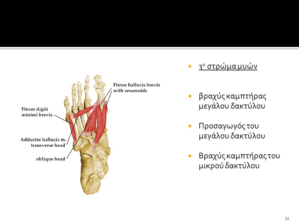 3ο στρώμα μυών βραχύς καμπτήρας μεγάλου δακτύλου. Προσαγωγός του μεγάλου δακτύλου.