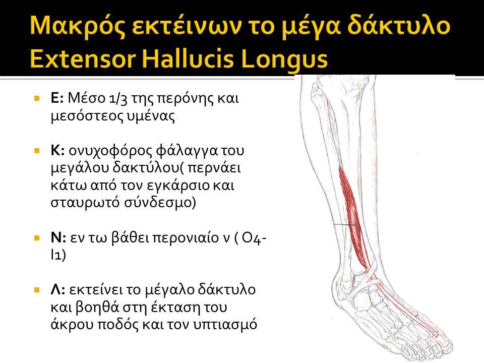 Μακρός εκτέινων το μέγα δάκτυλο Extensor Hallucis Longus