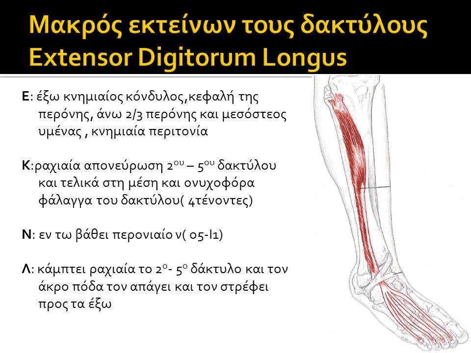 Μακρός εκτείνων τους δακτύλους Extensor Digitorum Longus
