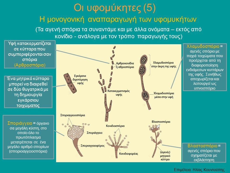 Οι υφομύκητες (5) Η μονογονική αναπαραγωγή των υφομυκήτων