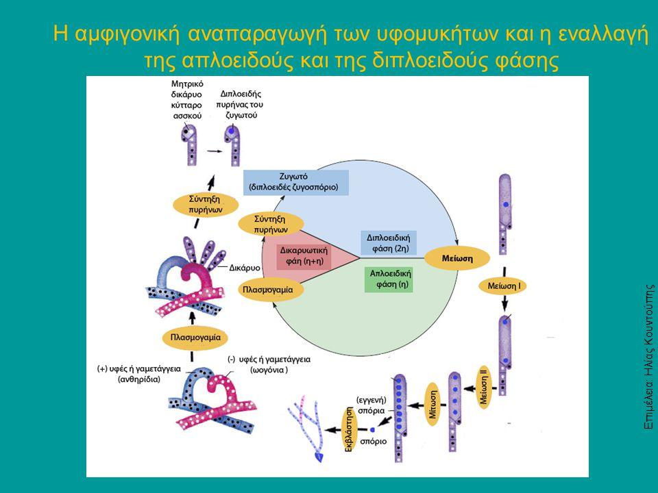 Η αμφιγονική αναπαραγωγή των υφομυκήτων και η εναλλαγή της απλοειδούς και της διπλοειδούς φάσης