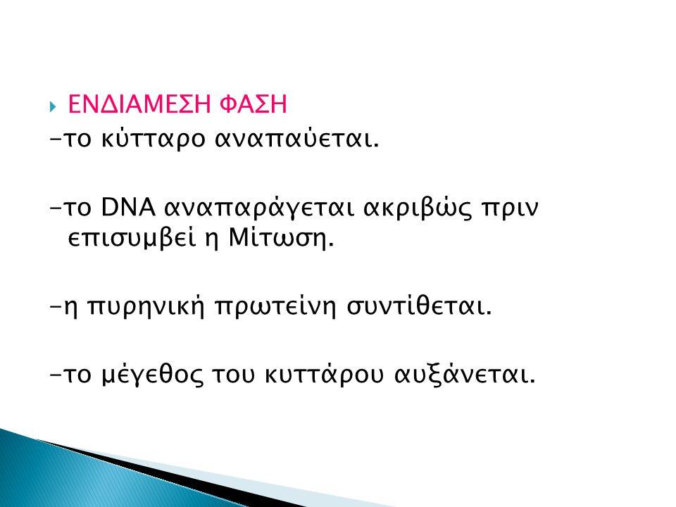 ΕΝΔΙΑΜΕΣΗ ΦΑΣΗ -το κύτταρο αναπαύεται. -το DNA αναπαράγεται ακριβώς πριν επισυμβεί η Μίτωση. -η πυρηνική πρωτείνη συντίθεται.