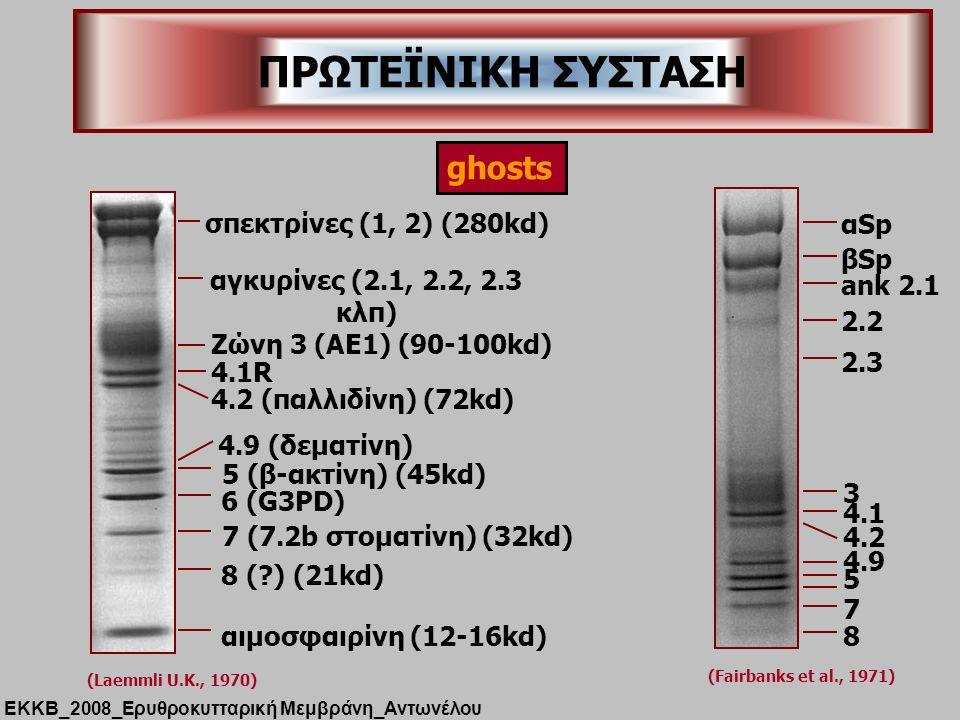 ΠΡΩΤΕΪΝΙΚΗ ΣΥΣΤΑΣΗ ghosts σπεκτρίνες (1, 2) (280kd) αSp βSp