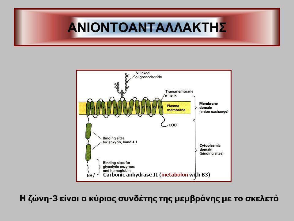 ANIONTOΑΝΤΑΛΛΑΚΤΗΣ Carbonic anhydrase II (metabolon with B3) Η ζώνη-3 είναι ο κύριος συνδέτης της μεμβράνης με το σκελετό.
