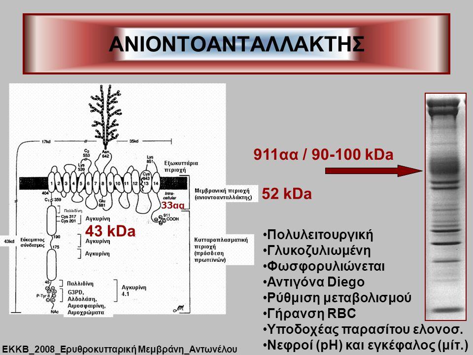 ANIONTOΑΝΤΑΛΛΑΚΤΗΣ 911αα / 90-100 kDa 52 kDa 43 kDa Πολυλειτουργική
