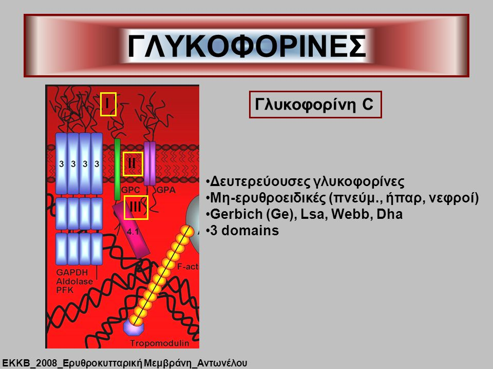 ΓΛΥΚΟΦΟΡΙΝΕΣ Γλυκοφορίνη C I II Δευτερεύουσες γλυκοφορίνες