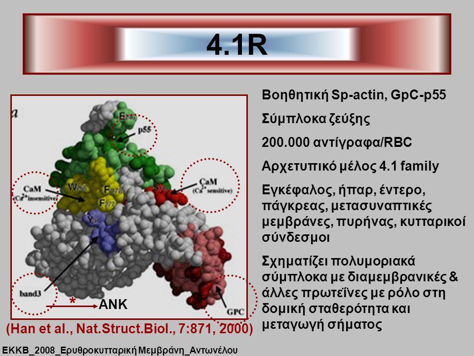 4.1R * Βοηθητική Sp-actin, GpC-p55 Σύμπλοκα ζεύξης