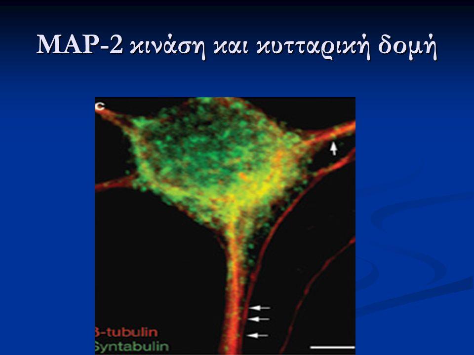 MAP-2 κινάση και κυτταρική δομή