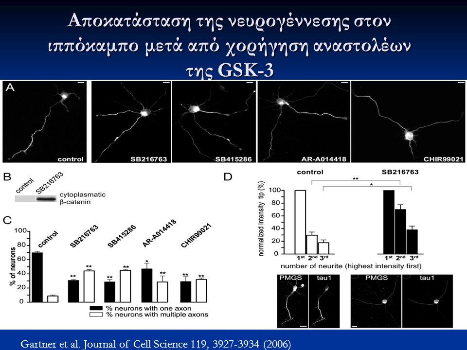 Αποκατάσταση της νευρογέννεσης στον ιππόκαμπο μετά από χορήγηση αναστολέων της GSK-3