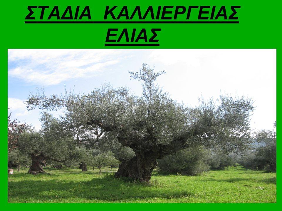 ΣΤΑΔΙΑ ΚΑΛΛΙΕΡΓΕΙΑΣ ΕΛΙΑΣ