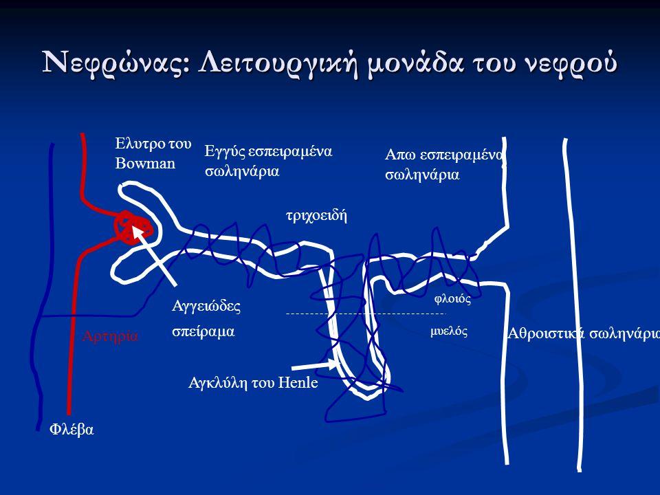 Νεφρώνας: Λειτουργική μονάδα του νεφρού