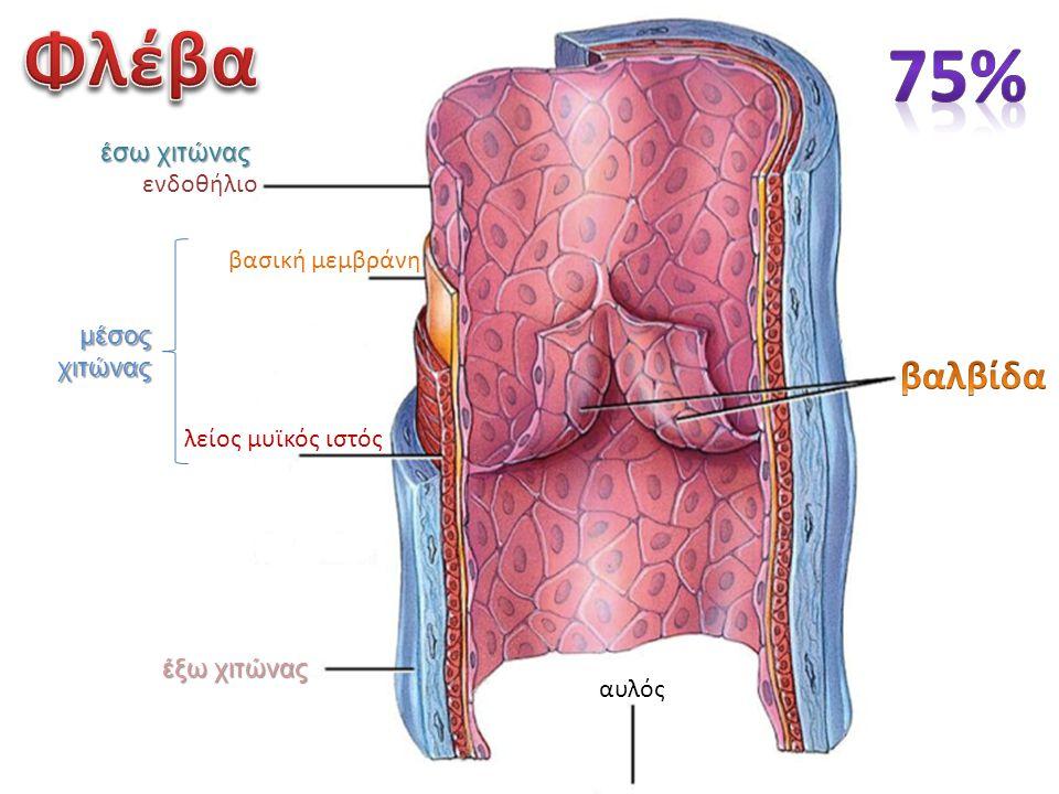 Φλέβα 75% βαλβίδα έσω χιτώνας ενδοθήλιο βασική μεμβράνη μέσος χιτώνας