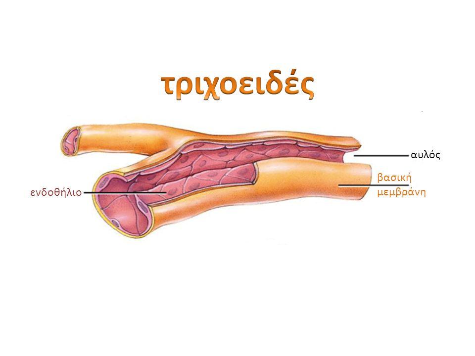 τριχοειδές αυλός βασική μεμβράνη ενδοθήλιο