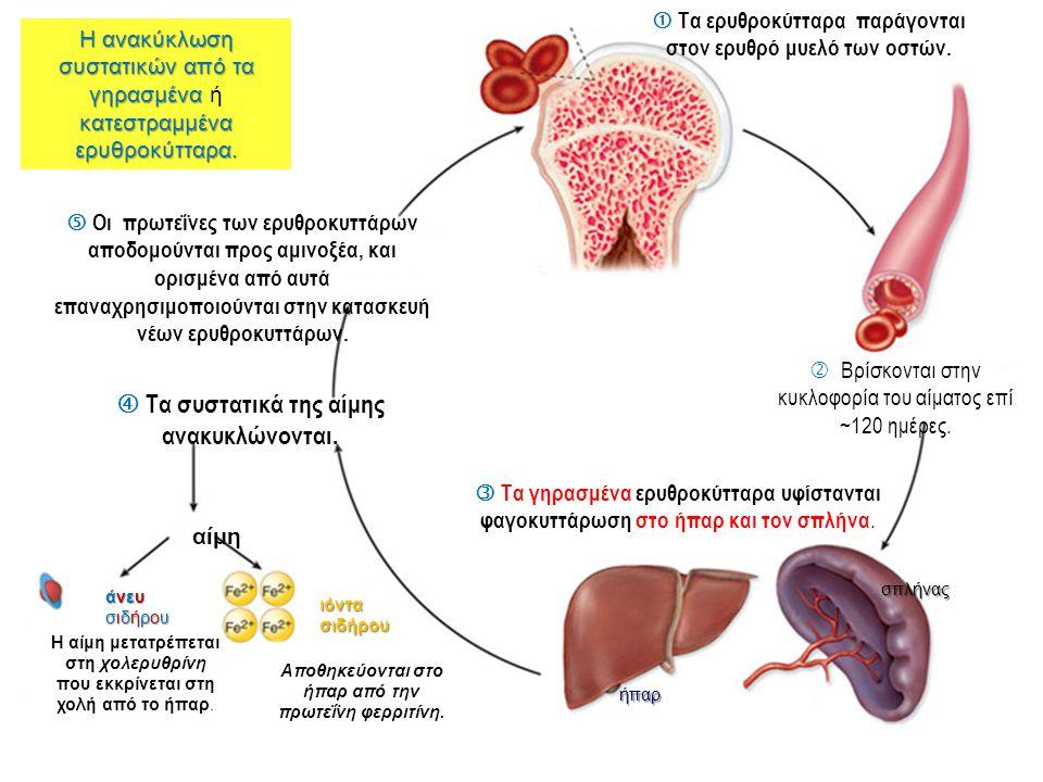  Τα συστατικά της αίμης ανακυκλώνονται.
