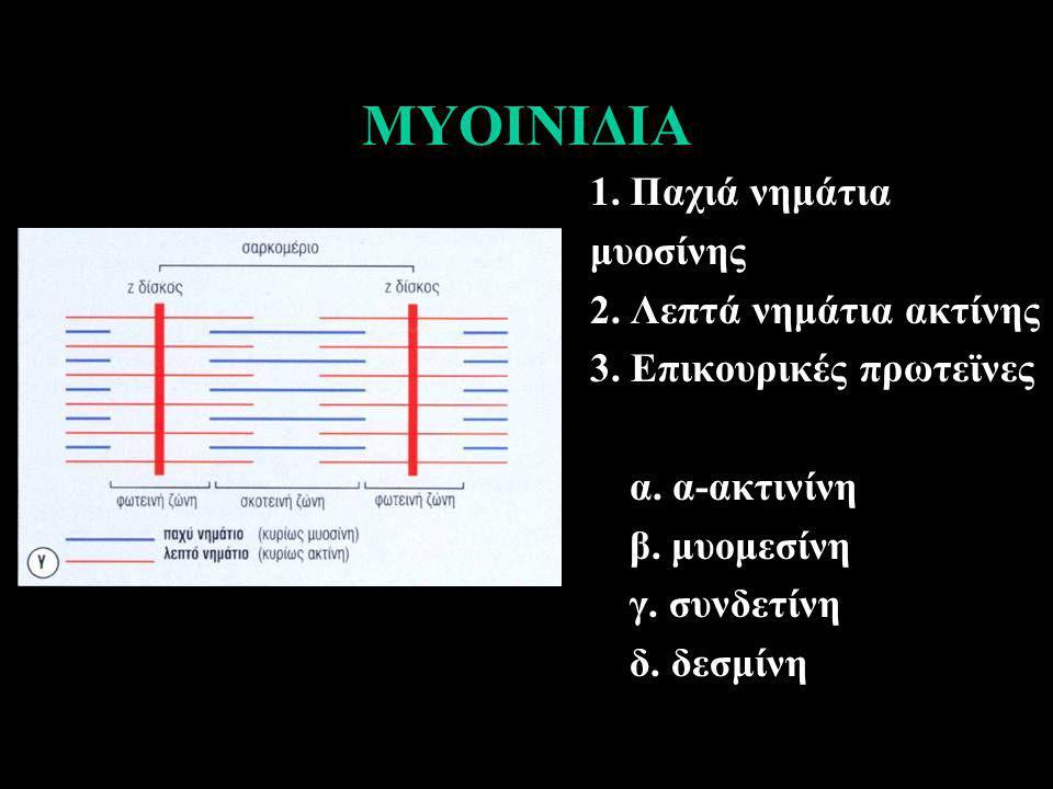 ΜΥΟΙΝΙΔΙΑ 1. Παχιά νημάτια μυοσίνης 2. Λεπτά νημάτια ακτίνης