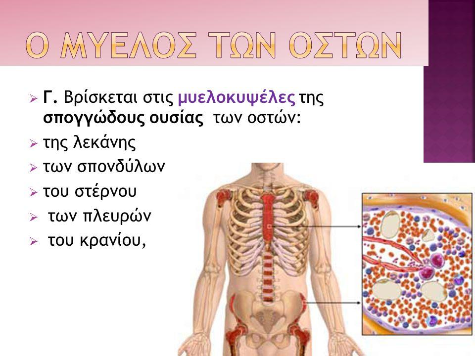 Ο ΜΥΕΛΟΣ ΤΩΝ ΟΣΤΩΝ Γ. Βρίσκεται στις μυελοκυψέλες της σπογγώδους ουσίας των οστών: της λεκάνης. των σπονδύλων.