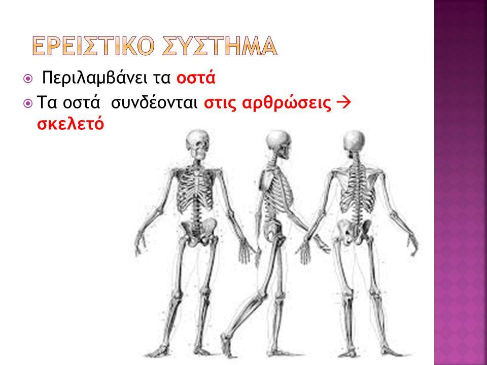 ΕΡΕΙΣΤΙΚΟ ΣΥΣΤΗΜΑ Περιλαμβάνει τα οστά