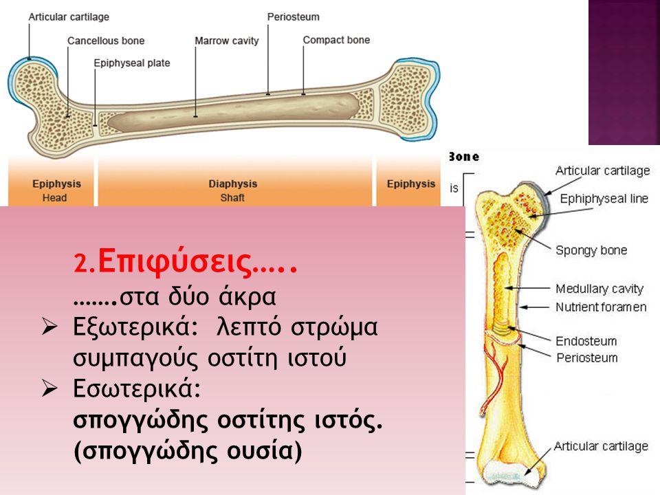 2.Eπιφύσεις….. …….στα δύο άκρα. Εξωτερικά: λεπτό στρώμα συμπαγούς οστίτη ιστού. Εσωτερικά: σπογγώδης οστίτης ιστός.