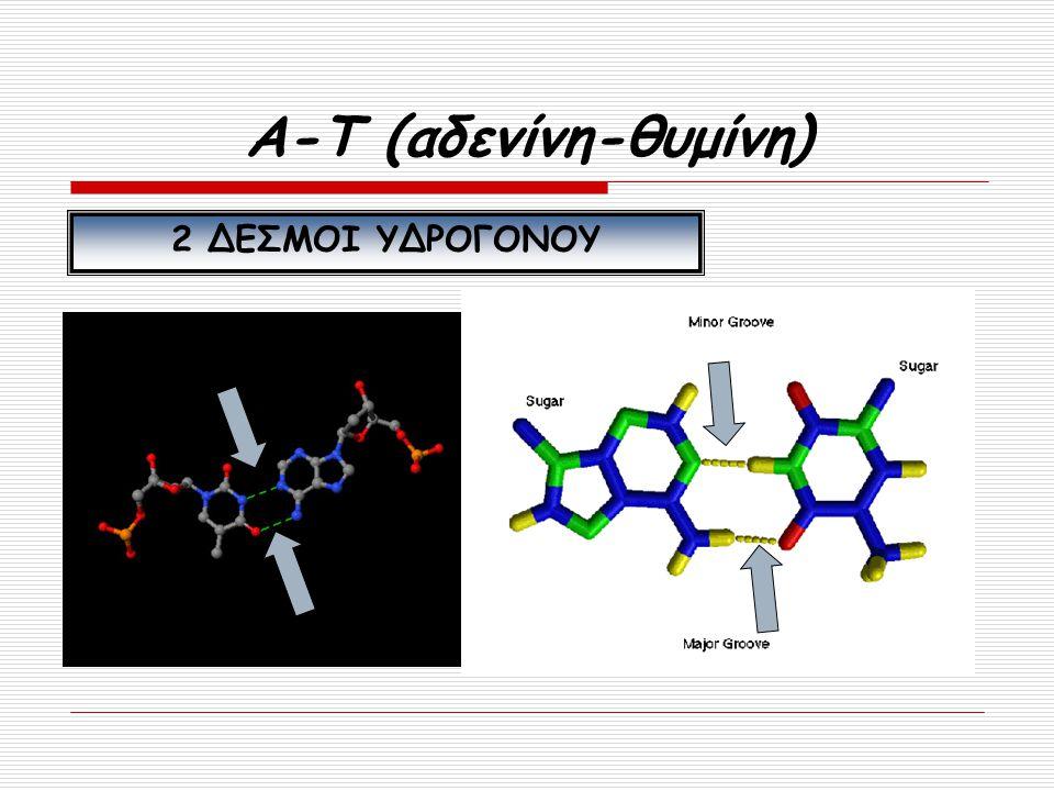 Α-Τ (αδενίνη-θυμίνη) 2 ΔΕΣΜΟΙ ΥΔΡΟΓΟΝΟΥ