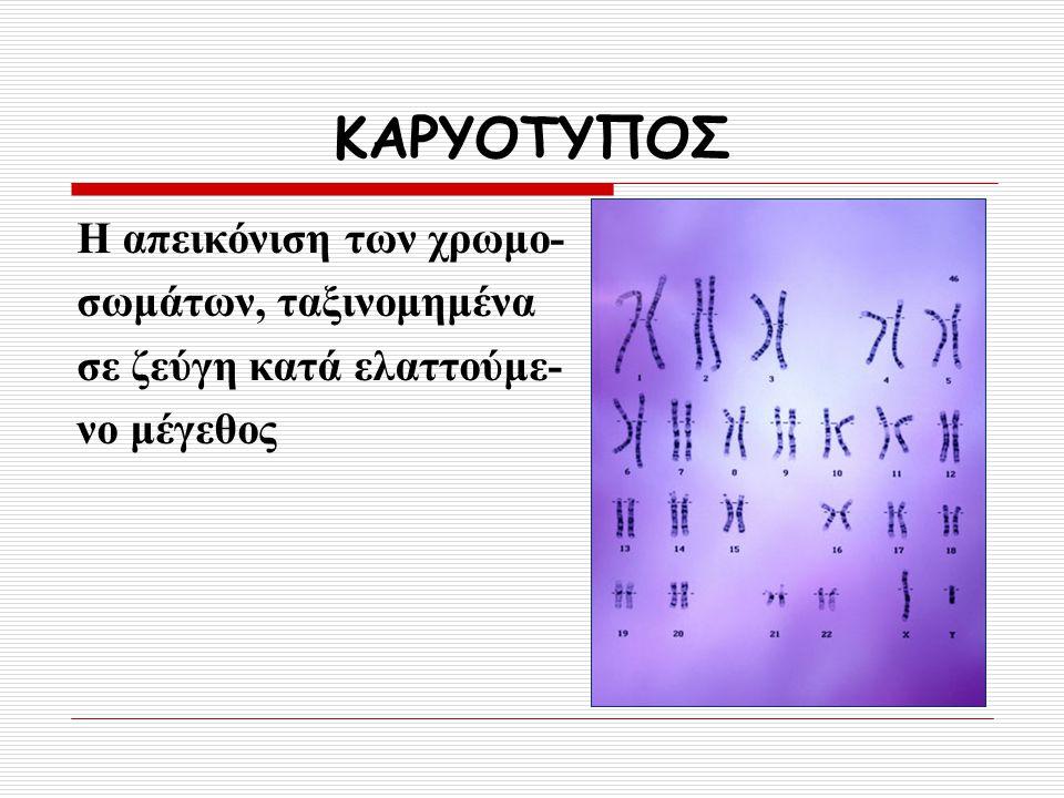 ΚΑΡΥΟΤΥΠΟΣ Η απεικόνιση των χρωμο- σωμάτων, ταξινομημένα