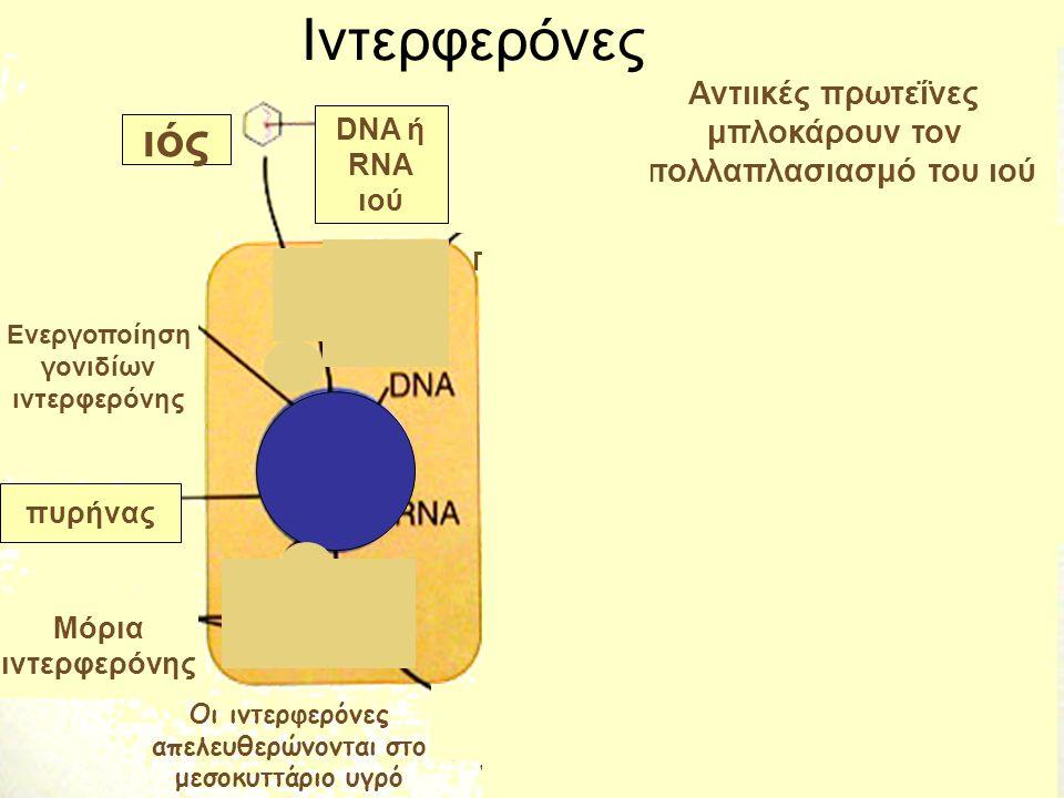 Ιντερφερόνες ιός Αντιικές πρωτεΐνες μπλοκάρουν τον