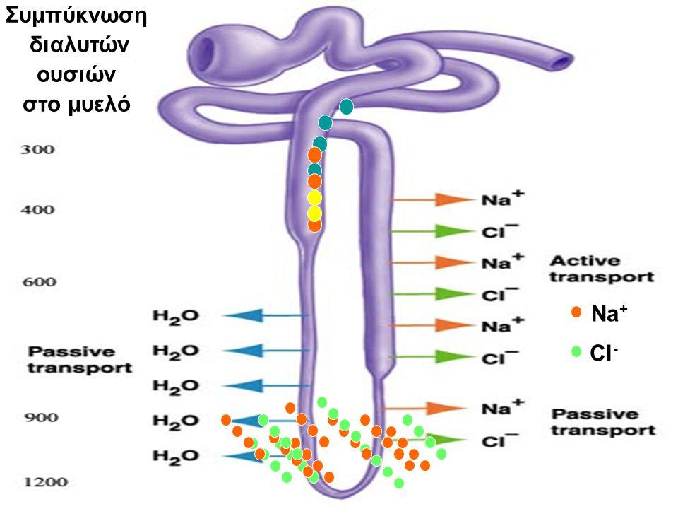 Συμπύκνωση διαλυτών ουσιών στο μυελό Na+ Cl-
