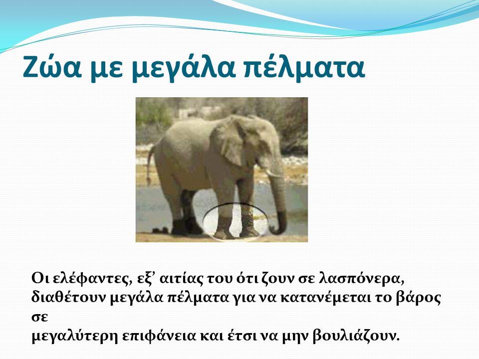 Ζώα με μεγάλα πέλματα Οι ελέφαντες, εξ' αιτίας του ότι ζουν σε λασπόνερα, διαθέτουν μεγάλα πέλματα για να κατανέμεται το βάρος σε.