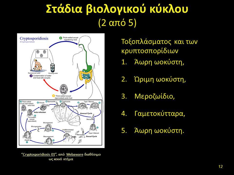 Στάδια βιολογικού κύκλου (3 από 5)