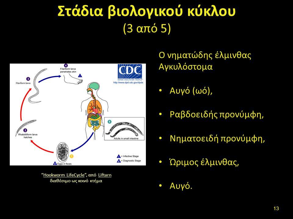 Στάδια βιολογικού κύκλου (4 από 5)