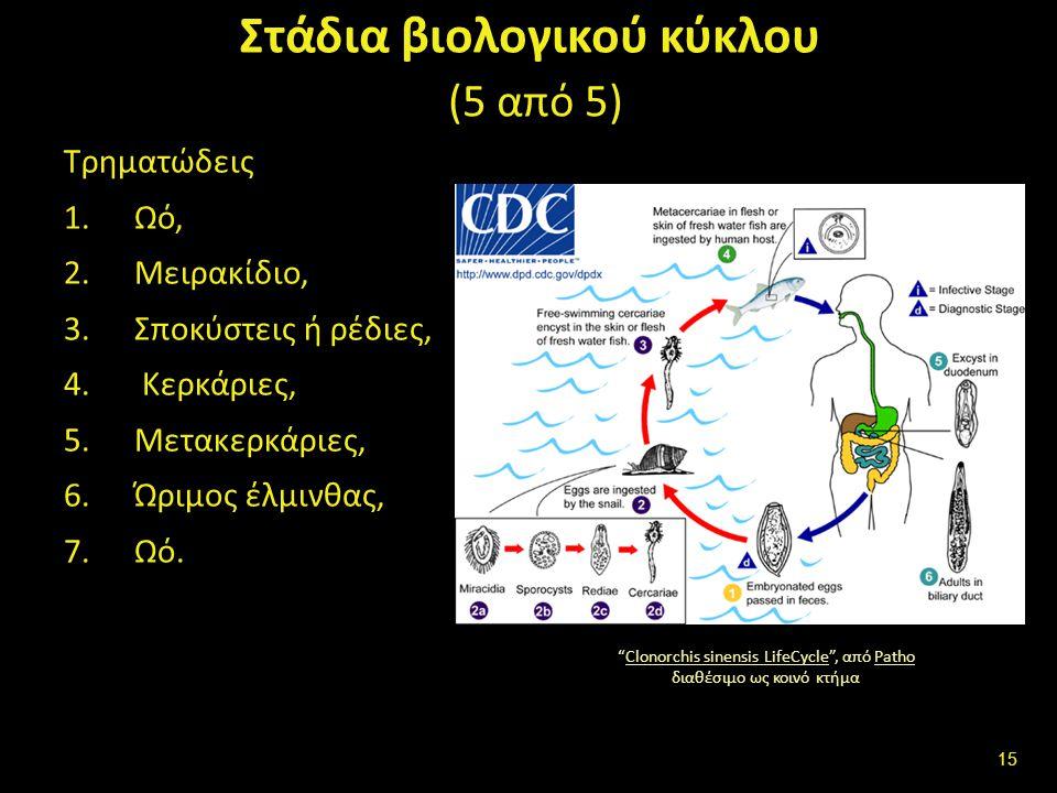 Βιολογικός κύκλος-κύκλος εξέλιξης διαίρεση