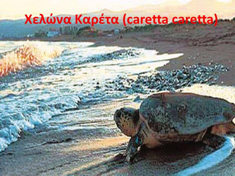 Xελώνα Kαρέτα (caretta caretta)