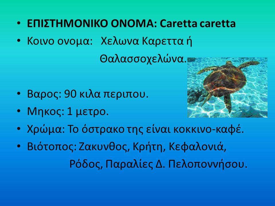 ΕΠΙΣΤΗΜΟΝΙΚΟ ΟΝΟΜΑ: Caretta caretta