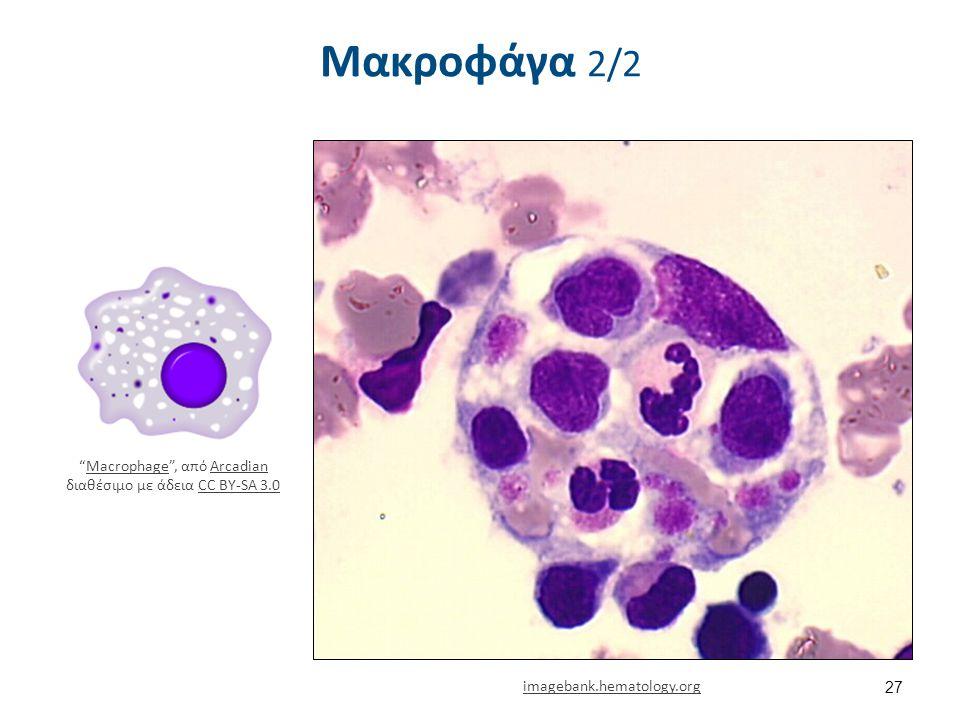 Ρόλος (Μακροφάγα) Φαγοκυττάρωση. Αντιγονοπαρουσίαση.