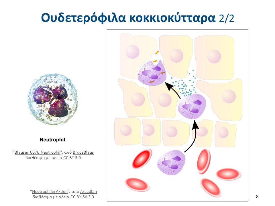 Κοκκία Ουδετερόφιλα κοκκιοκύτταρα