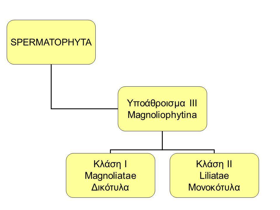Yποάθροισμα III Magnoliophytina Κλάση Ι Magnoliatae Δικότυλα Κλάση ΙΙ