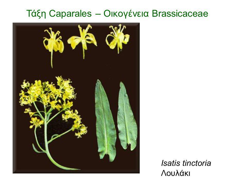 Τάξη Caparales – Οικογένεια Brassicaceae