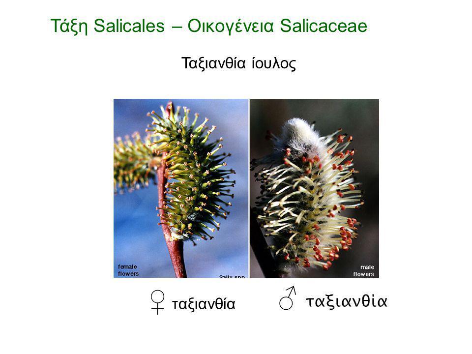 ♀ ταξιανθία ♂ ταξιανθία Τάξη Salicales – Οικογένεια Salicaceae