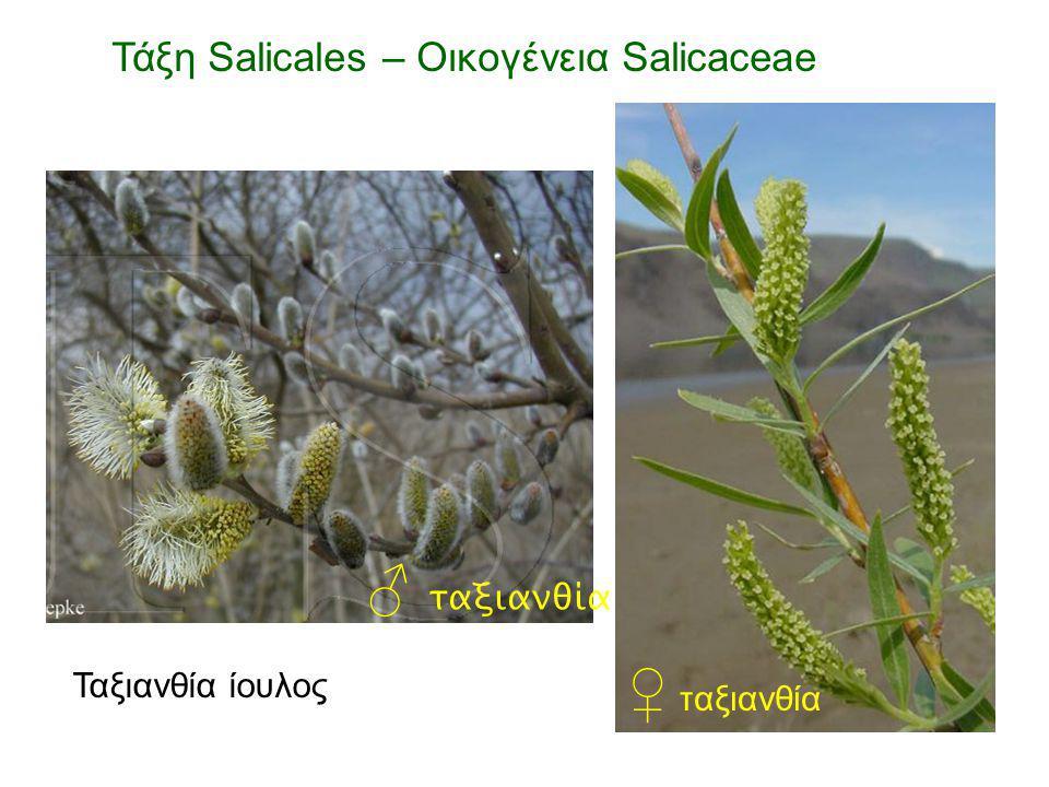 ♂ ταξιανθία ♀ ταξιανθία Τάξη Salicales – Οικογένεια Salicaceae