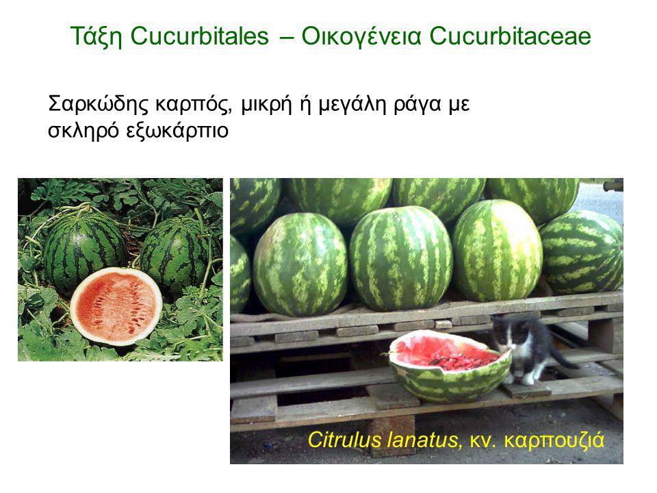 Τάξη Cucurbitales – Οικογένεια Cucurbitaceae