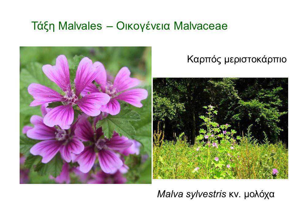 Τάξη Malvales – Οικογένεια Malvaceae