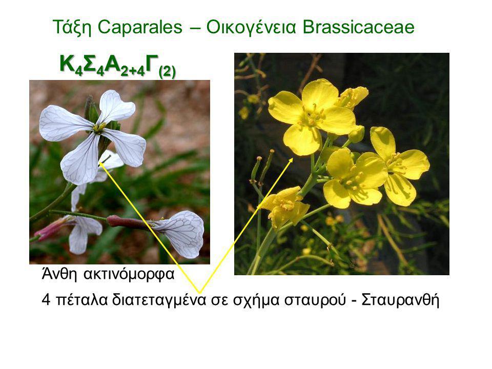 Κ4Σ4Α2+4Γ(2) Τάξη Caparales – Οικογένεια Brassicaceae Άνθη ακτινόμορφα