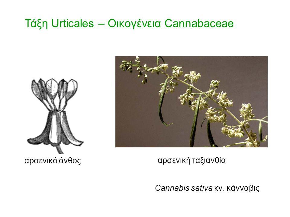 Τάξη Urticales – Οικογένεια Cannabaceae